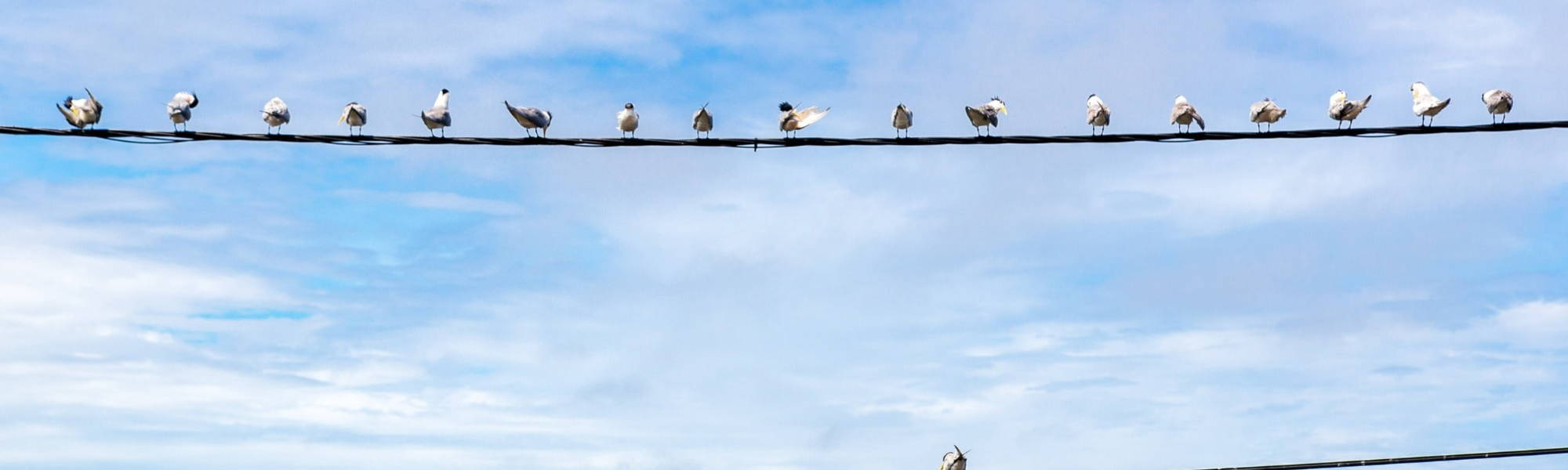 Seagulls sitting on power lines